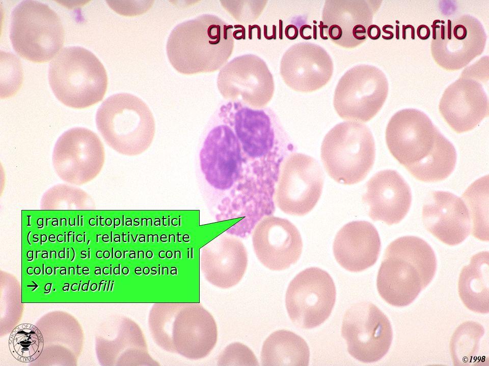 I granuli citoplasmatici (specifici, relativamente grandi) si colorano con il colorante acido eosina g. acidofili granulocito eosinofilo