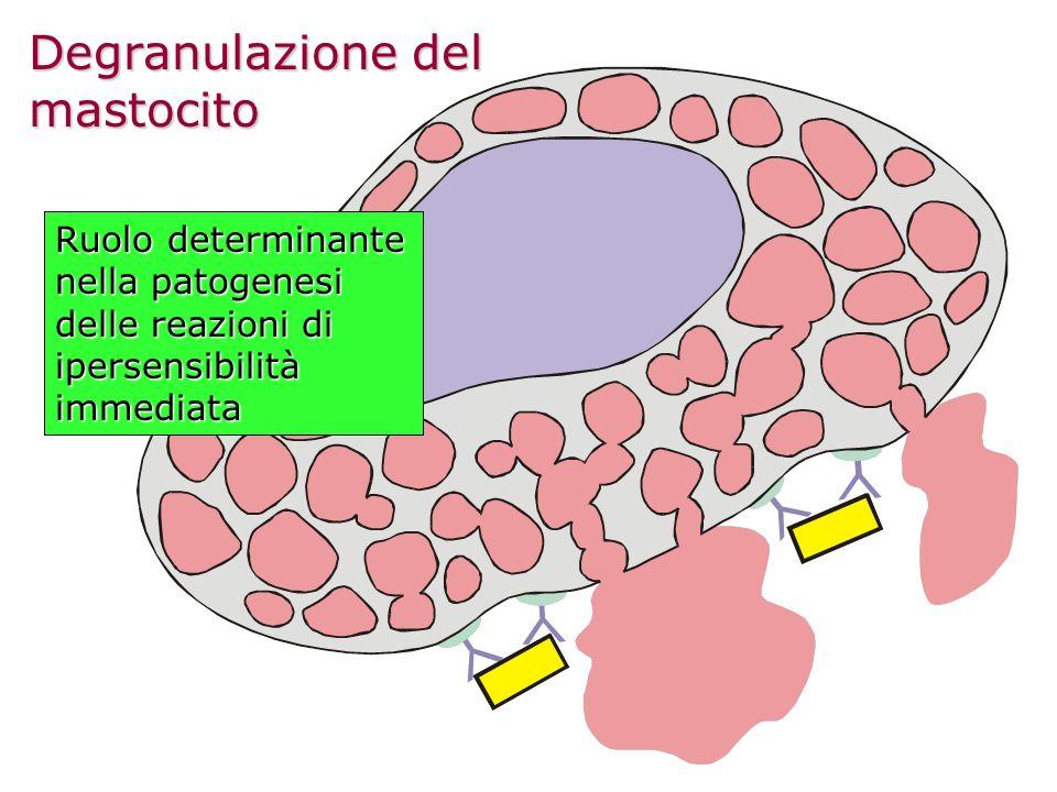 Degranulazione del mastocito Ruolo determinante nella patogenesi delle reazioni di ipersensibilità immediata