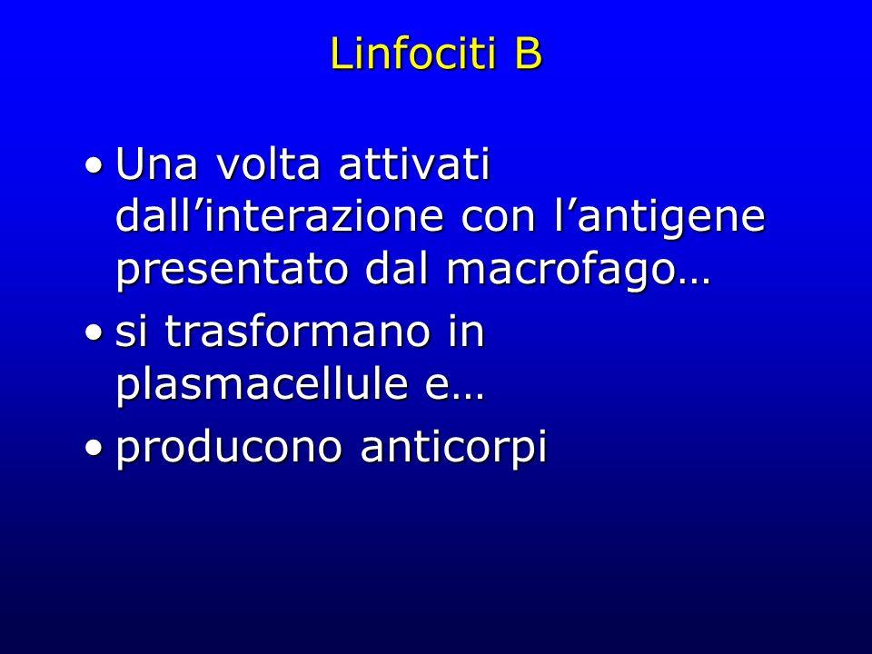Linfociti B Una volta attivati dallinterazione con lantigene presentato dal macrofago…Una volta attivati dallinterazione con lantigene presentato dal