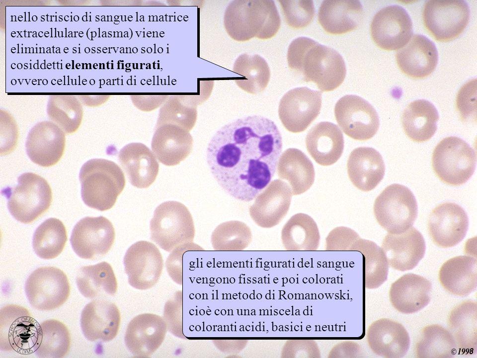 striscio nello striscio di sangue la matrice extracellulare (plasma) viene eliminata e si osservano solo i cosiddetti elementi figurati, ovvero cellul