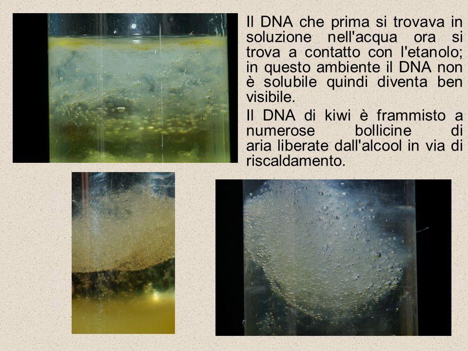 Il DNA che prima si trovava in soluzione nell'acqua ora si trova a contatto con l'etanolo; in questo ambiente il DNA non è solubile quindi diventa ben