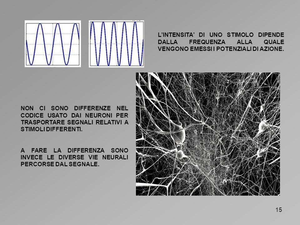16 LIPOTESI IONICA NELLA FIGURA QUI SOPRA LA STRUTTURA DELLA MEMBRANA PLASMATICA DI UN NEURONE