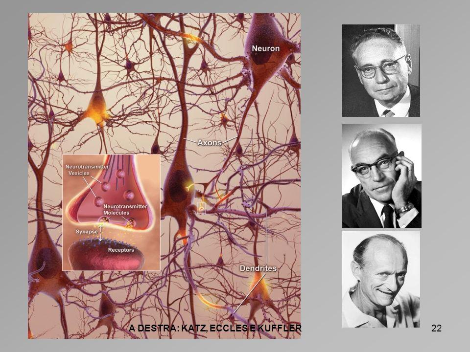 23 I NEUROTRASMETTITORI ECCITATORI ACETILCOLINA: presente nella giunzione neuromuscolare.