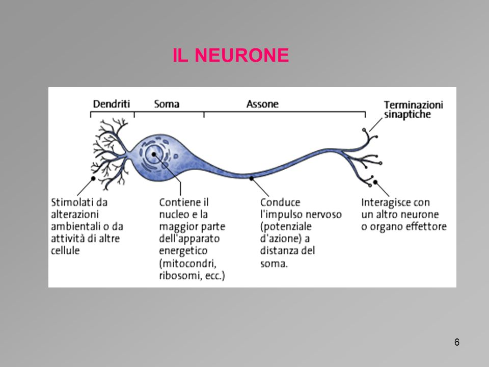 6 IL NEURONE
