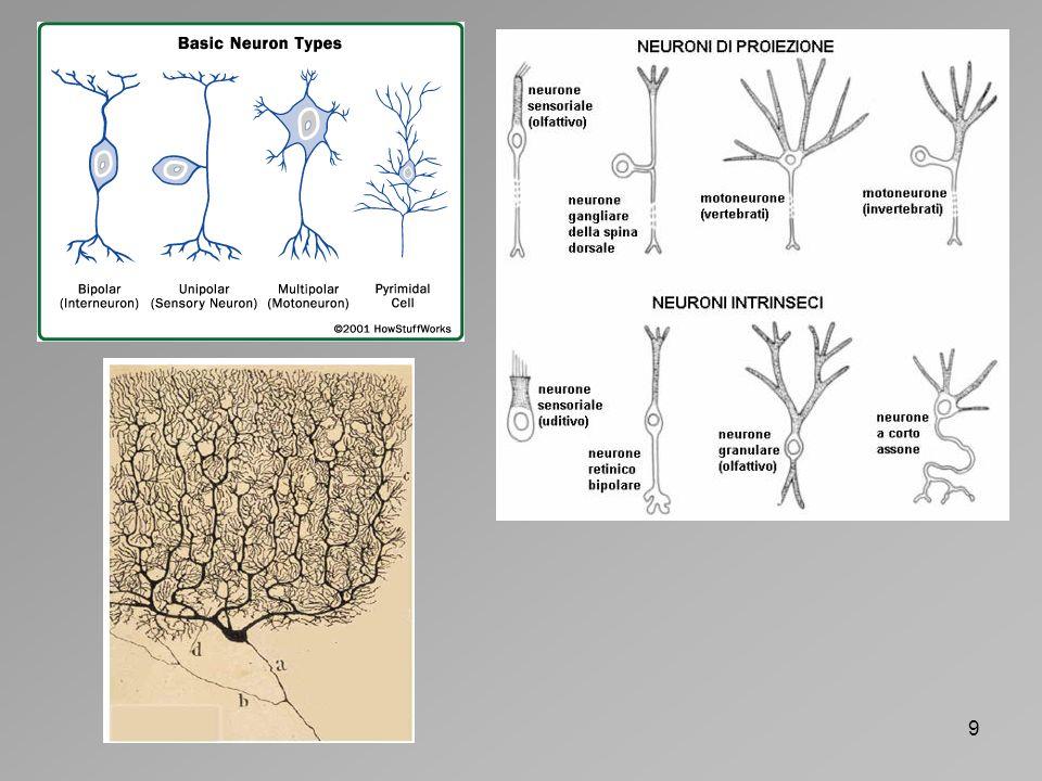 10 Neurone sensoriale Neurone motorio Interneurone