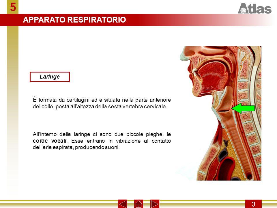 5 3 Laringe È formata da cartilagini ed è situata nella parte anteriore del collo, posta allaltezza della sesta vertebra cervicale. Allinterno della l