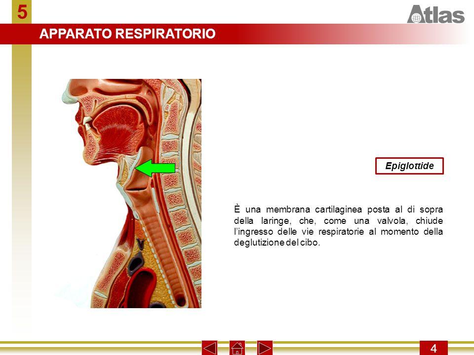 5 4 Epiglottide È una membrana cartilaginea posta al di sopra della laringe, che, come una valvola, chiude lingresso delle vie respiratorie al momento