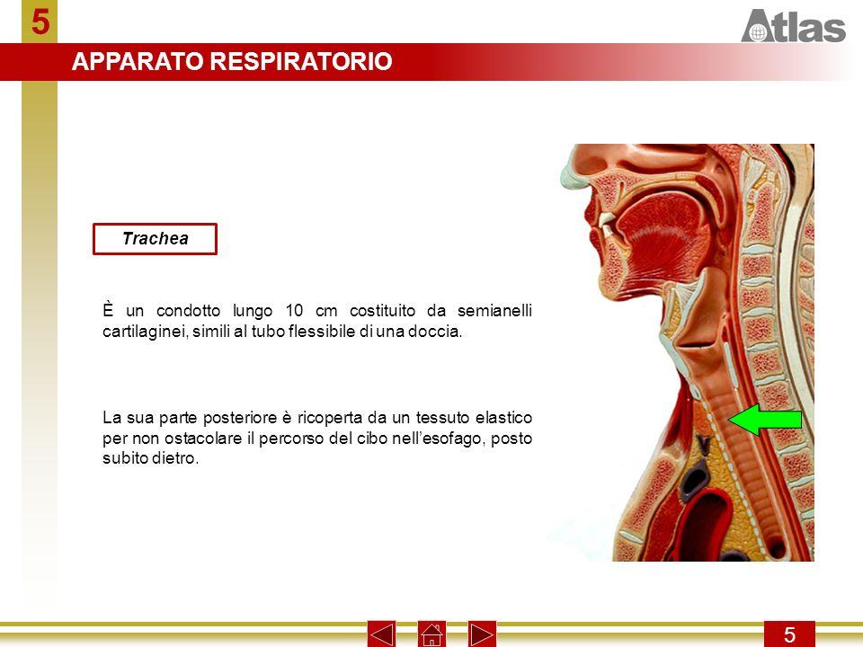 5 5 Trachea È un condotto lungo 10 cm costituito da semianelli cartilaginei, simili al tubo flessibile di una doccia. La sua parte posteriore è ricope