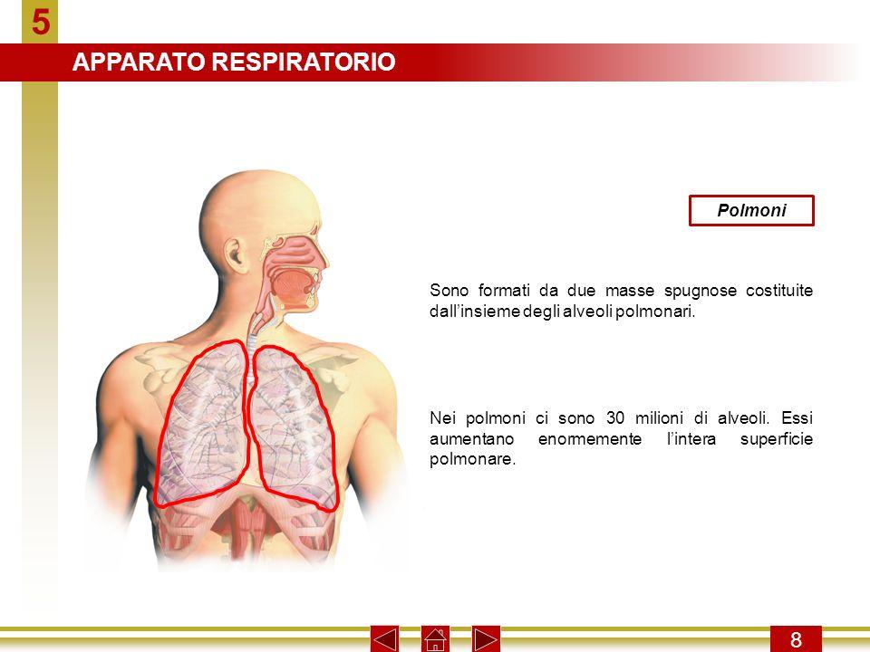 5 8 Polmoni Sono formati da due masse spugnose costituite dallinsieme degli alveoli polmonari. Nei polmoni ci sono 30 milioni di alveoli. Essi aumenta