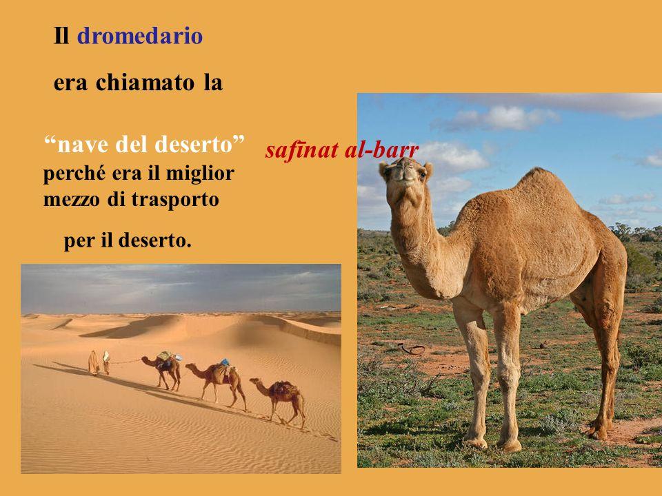 Il dromedario era chiamato la nave del deserto perché era il miglior mezzo di trasporto per il deserto. safīnat al-barr
