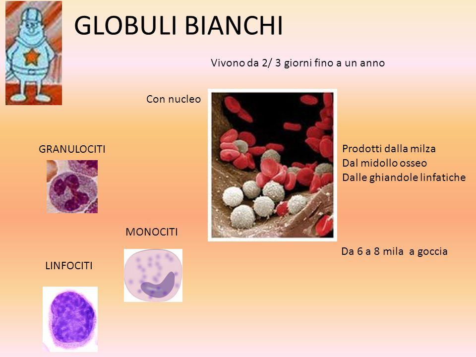 GLOBULI BIANCHI GRANULOCITI MONOCITI LINFOCITI Da 6 a 8 mila a goccia Con nucleo Vivono da 2/ 3 giorni fino a un anno Prodotti dalla milza Dal midollo
