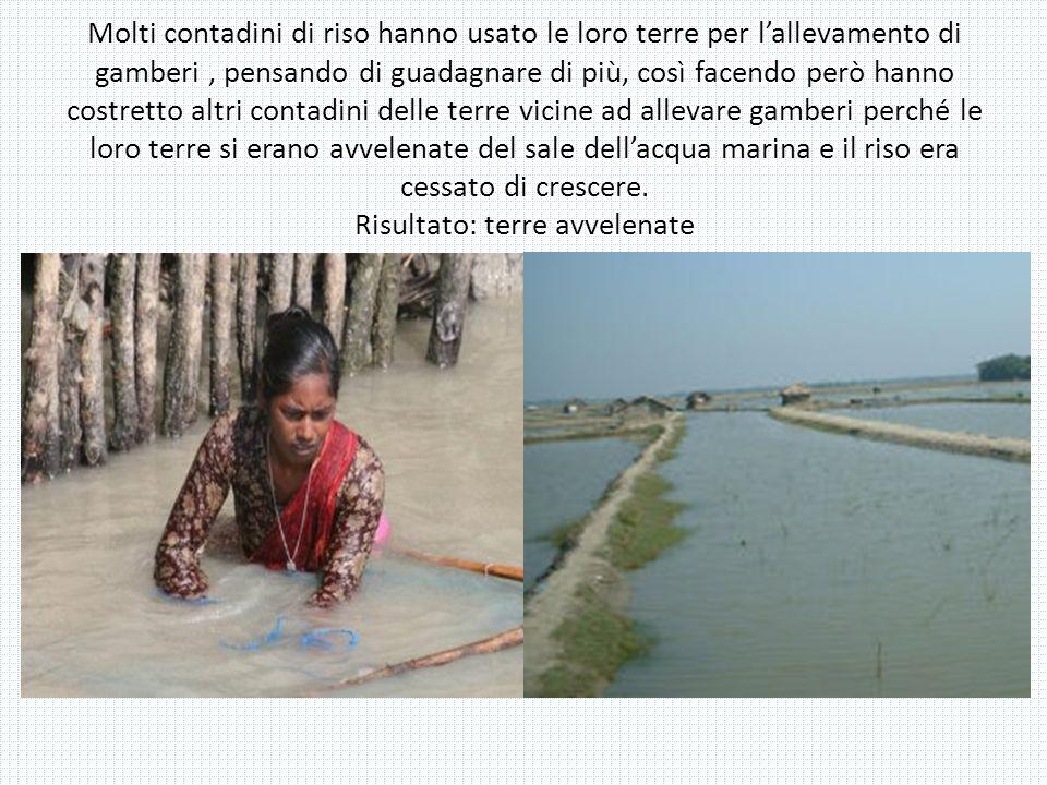 Molti contadini di riso hanno usato le loro terre per lallevamento di gamberi, pensando di guadagnare di più, così facendo però hanno costretto altri