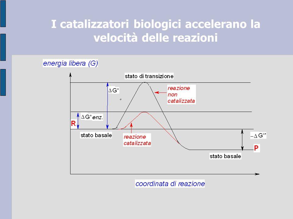 I catalizzatori biologici accelerano la velocità delle reazioni