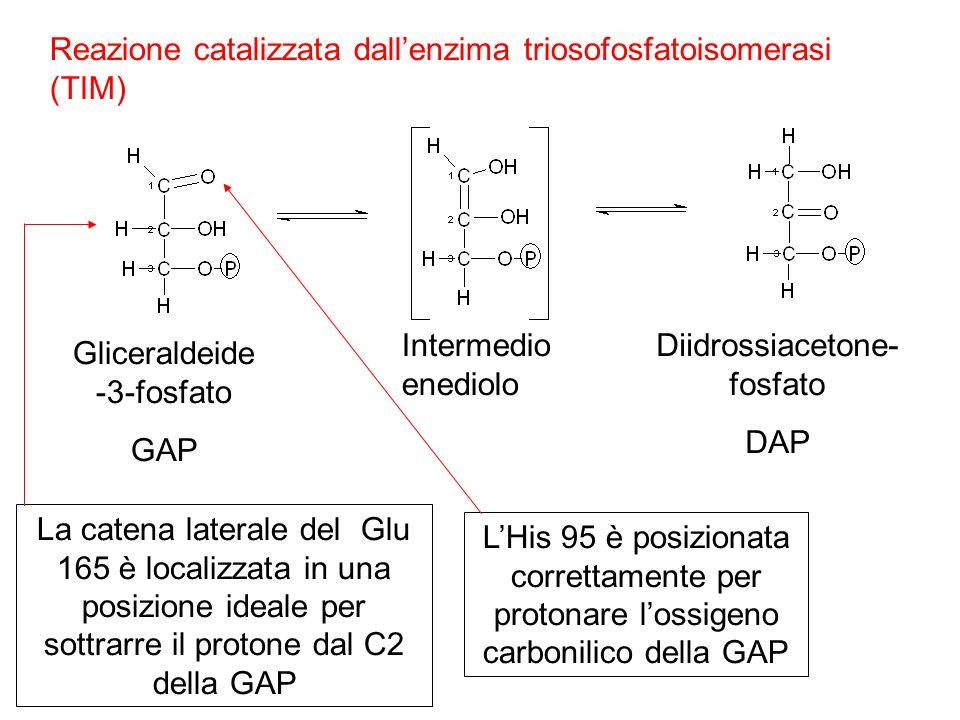 Gliceraldeide -3-fosfato GAP Intermedio enediolo Diidrossiacetone- fosfato DAP Reazione catalizzata dallenzima triosofosfatoisomerasi (TIM) La catena laterale del Glu 165 è localizzata in una posizione ideale per sottrarre il protone dal C2 della GAP LHis 95 è posizionata correttamente per protonare lossigeno carbonilico della GAP