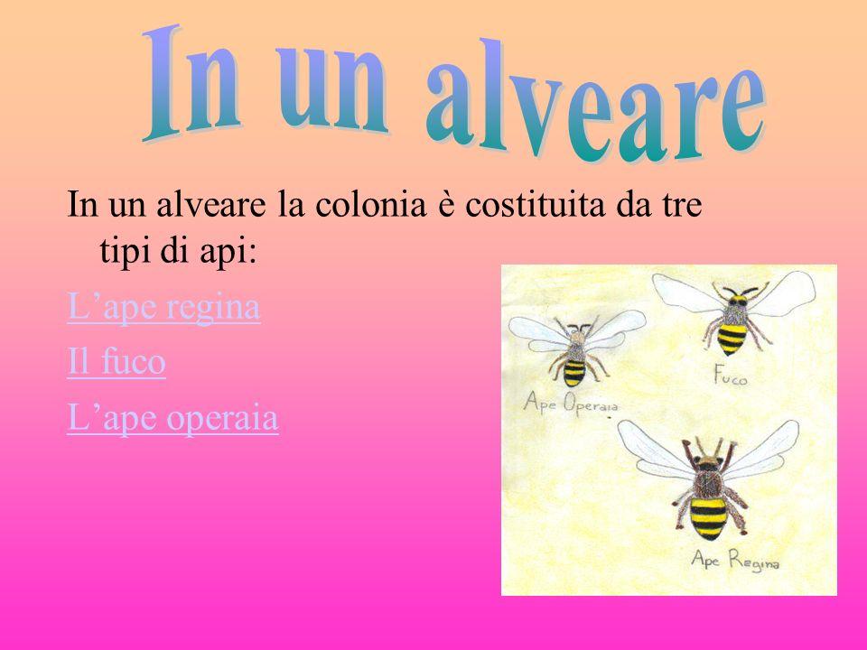 In un alveare la colonia è costituita da tre tipi di api: Lape regina Il fuco Lape operaia
