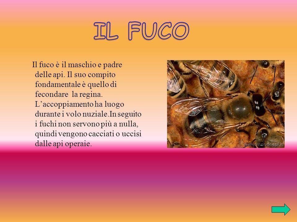 Il fuco è il maschio e padre delle api.