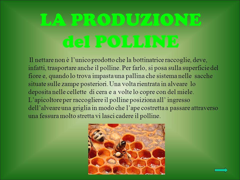 LA PRODUZIONE del POLLINE Il nettare non è lunico prodotto che la bottinatrice raccoglie, deve, infatti, trasportare anche il polline.