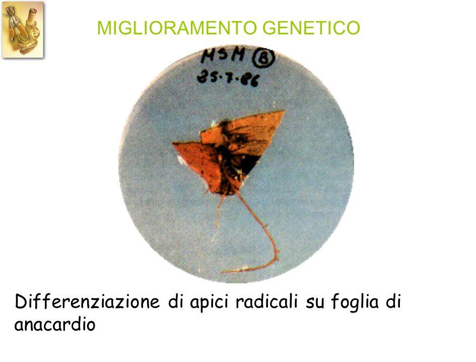 MIGLIORAMENTO GENETICO Differenziazione di apici radicali su foglia di anacardio