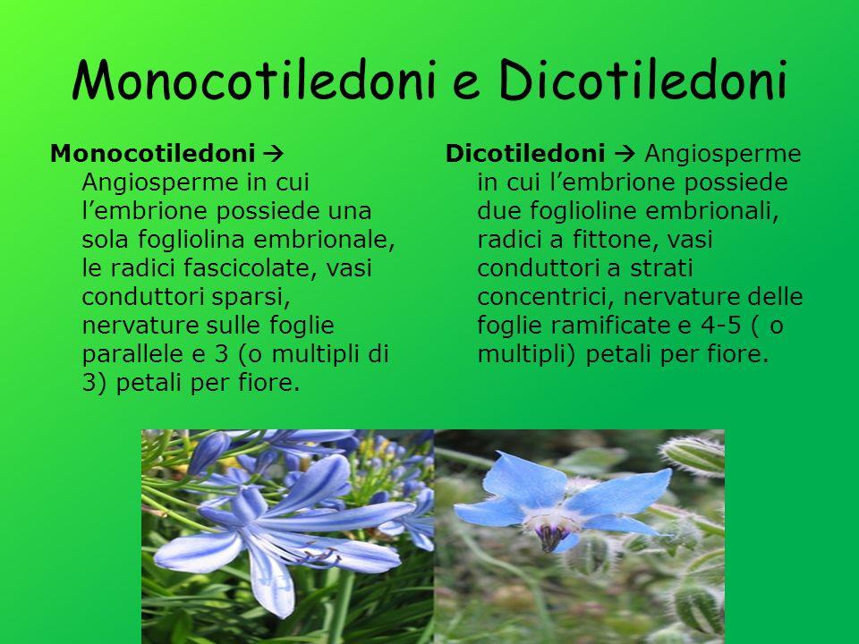 Monocotiledoni e Dicotiledoni Monocotiledoni Angiosperme in cui lembrione possiede una sola fogliolina embrionale, le radici fascicolate, vasi conduttori sparsi, nervature sulle foglie parallele e 3 (o multipli di 3) petali per fiore.