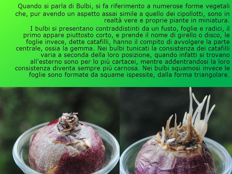 Quando si parla di Bulbi, si fa riferimento a numerose forme vegetali che, pur avendo un aspetto assai simile a quello dei cipollotti, sono in realtà vere e proprie piante in miniatura.