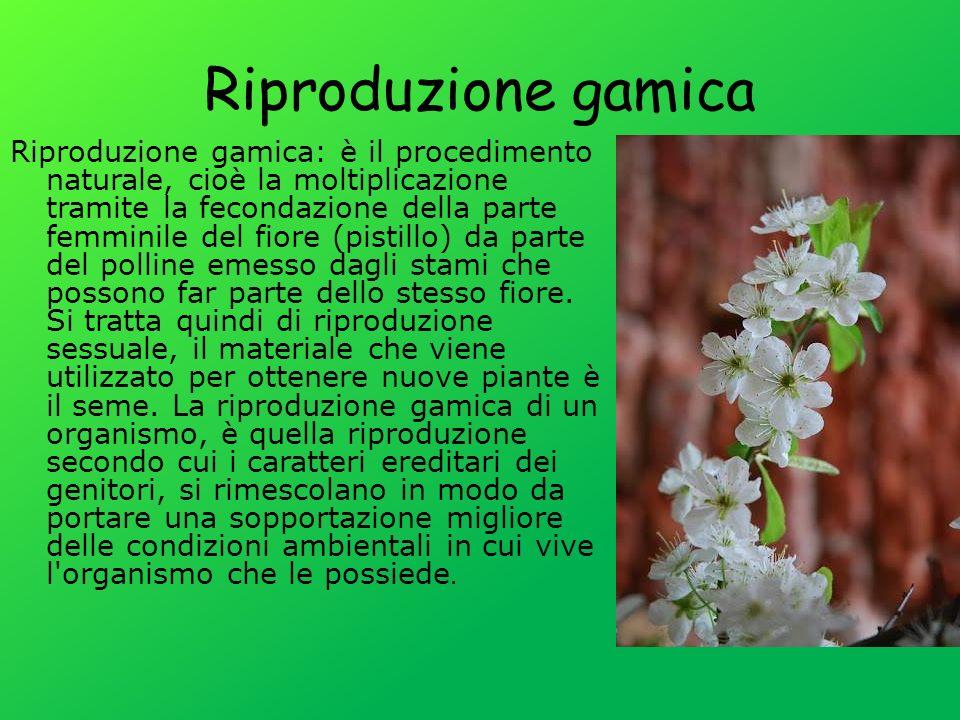 Riproduzione gamica Riproduzione gamica: è il procedimento naturale, cioè la moltiplicazione tramite la fecondazione della parte femminile del fiore (