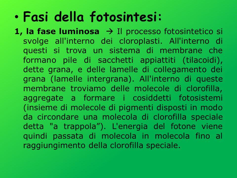 Fasi della fotosintesi: 1, la fase luminosa Il processo fotosintetico si svolge all'interno dei cloroplasti. All'interno di questi si trova un sistema