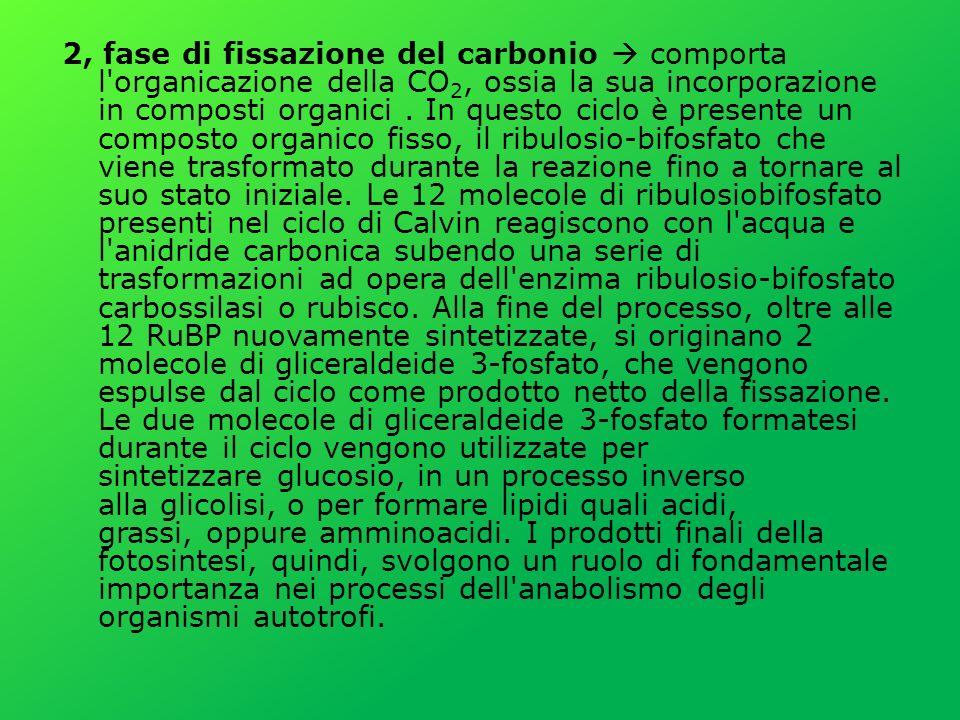 2, fase di fissazione del carbonio comporta l organicazione della CO 2, ossia la sua incorporazione in composti organici.