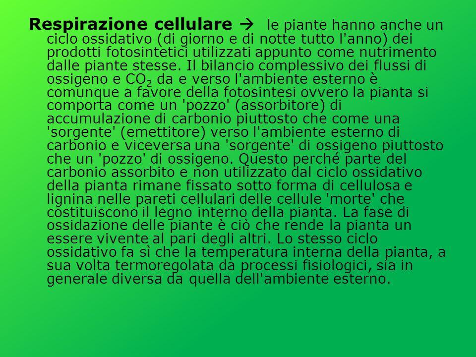 Respirazione cellulare le piante hanno anche un ciclo ossidativo (di giorno e di notte tutto l anno) dei prodotti fotosintetici utilizzati appunto come nutrimento dalle piante stesse.