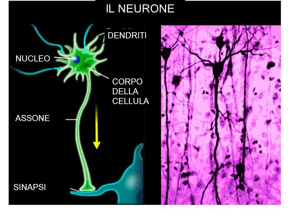 IL NEURONE NUCLEO DENDRITI CORPO DELLA CELLULA ASSONE SINAPSI