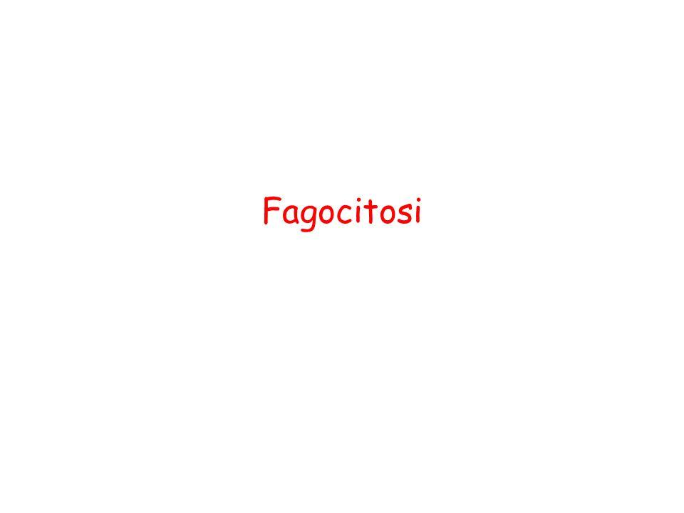 Nei leucociti circolanti avvengono 5 eventi principali prima della fagocitosi Chemiotassi Attivazione Marginazione Diapedesi Riconoscimento-Adesione