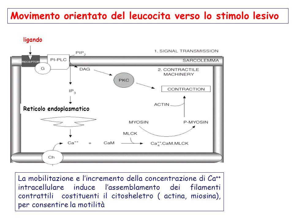 Movimento orientato del leucocita verso lo stimolo lesivo Reticolo endoplasmatico ligando La mobilitazione e lincremento della concentrazione di Ca ++ intracellulare induce lassemblamento dei filamenti contrattili costituenti il citosheletro ( actina, miosina), per consentire la motilità