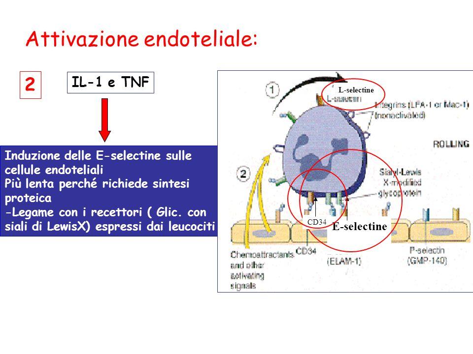 Induzione delle E-selectine sulle cellule endoteliali Più lenta perché richiede sintesi proteica -Legame con i recettori ( Glic.