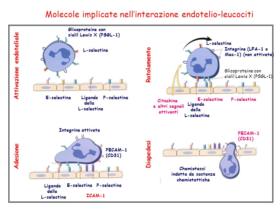Molecole implicate nellinterazione endotelio-leucociti Attivazione endoteliale Adesione Diapedesi Glicoproteine con sialil Lewis X (PSGL-1) E-selectinaLigando della L-selectina P-selectina L-selectina Rotolamento Citochine e altri segnali attivanti L-selectina Ligando della L-selectina E-selectinaP-selectina Integrine (LFA-1 o Mac-1) (non attivate) Glicoproteine con sialil Lewis X (PSGL-1) Integrine attivate PECAM-1 (CD31) ICAM-1 Ligando della L-selectina E-selectinaP-selectina PECAM-1 (CD31) Chemiotassi indotta da sostanze chemiotattiche