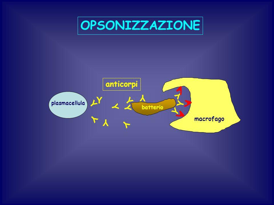 OPSONIZZAZIONE plasmacellula batterio anticorpi Y Y Y Y Y Y Y Y Y Y Y Y macrofago
