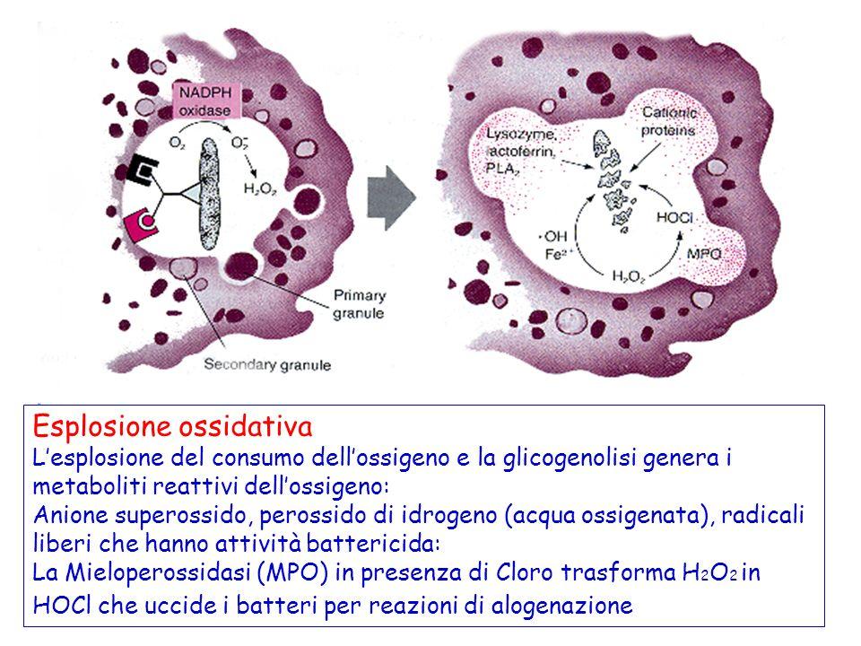 Esplosione ossidativa Lesplosione del consumo dellossigeno e la glicogenolisi genera i metaboliti reattivi dellossigeno: Anione superossido, perossido di idrogeno (acqua ossigenata), radicali liberi che hanno attività battericida: La Mieloperossidasi (MPO) in presenza di Cloro trasforma H 2 O 2 in HOCl che uccide i batteri per reazioni di alogenazione
