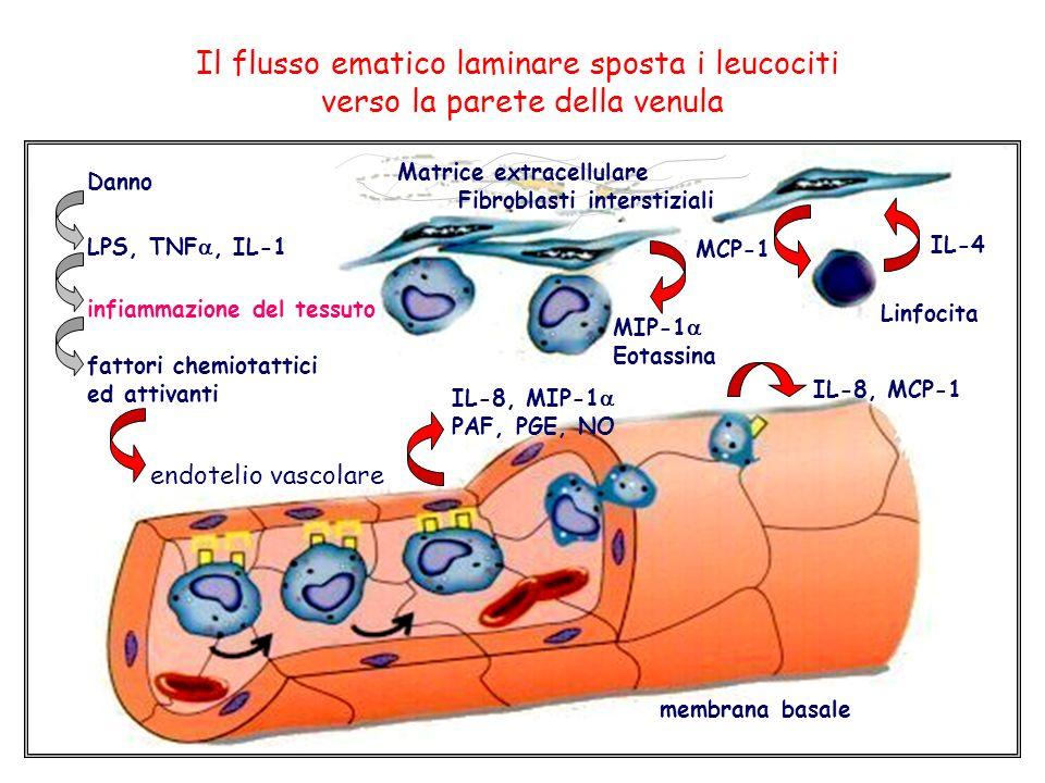 Danno LPS, TNF, IL-1 infiammazione del tessuto fattori chemiotattici ed attivanti endotelio vascolare Matrice extracellulare Fibroblasti interstiziali Linfocita IL-8, MIP-1 PAF, PGE, NO membrana basale MIP-1 Eotassina IL-8, MCP-1 MCP-1 IL-4 Il flusso ematico laminare sposta i leucociti verso la parete della venula