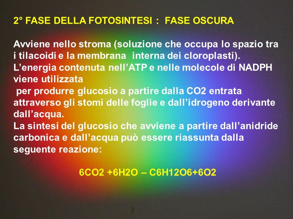 2° FASE DELLA FOTOSINTESI : FASE OSCURA Avviene nello stroma (soluzione che occupa lo spazio tra i tilacoidi e la membrana interna dei cloroplasti). L