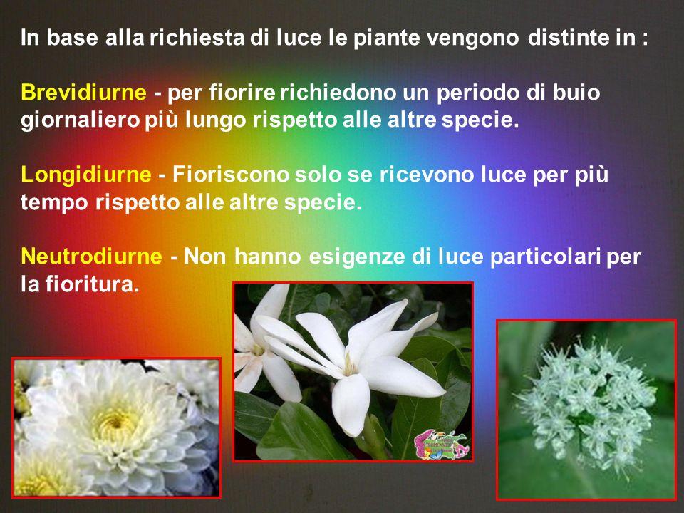 In base alla richiesta di luce le piante vengono distinte in : Brevidiurne - per fiorire richiedono un periodo di buio giornaliero più lungo rispetto