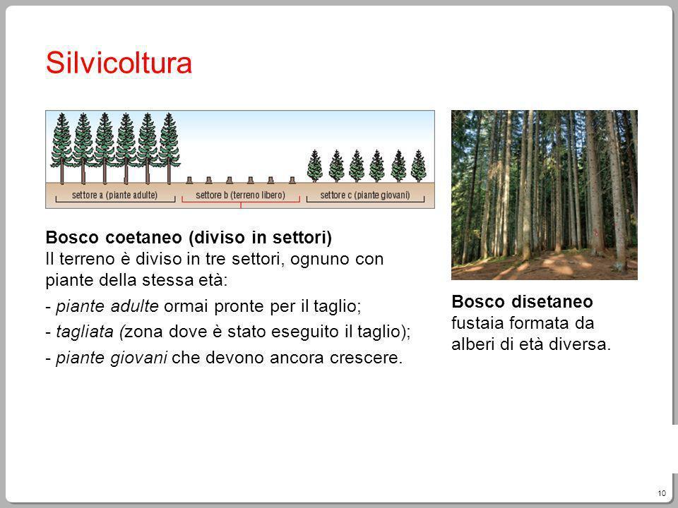 10 Giampietro Paci, Fare Tecnologia Silvicoltura Bosco coetaneo (diviso in settori) Il terreno è diviso in tre settori, ognuno con piante della stessa