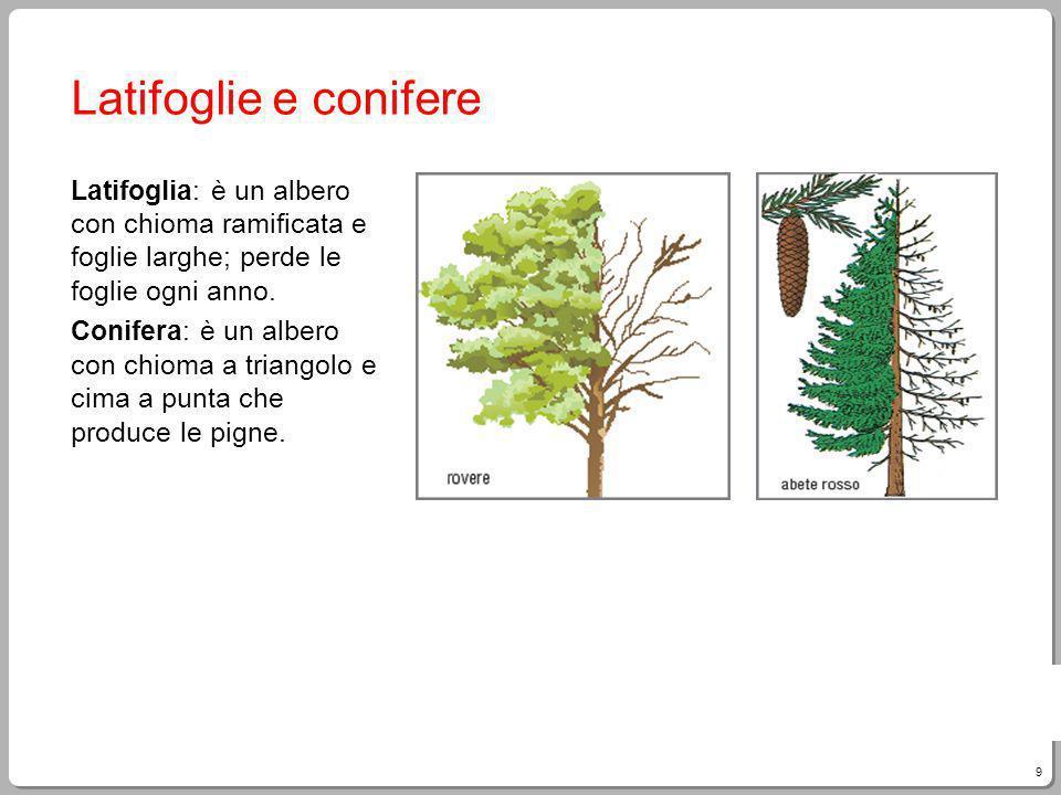 9 Giampietro Paci, Fare Tecnologia Latifoglie e conifere Latifoglia: è un albero con chioma ramificata e foglie larghe; perde le foglie ogni anno. Con