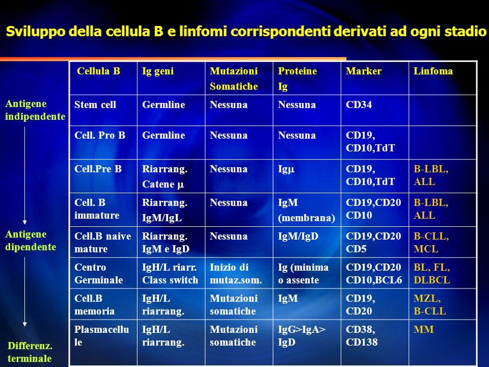 Classificazione WHO (Linfomi B) Neoplasie a precursori B Linfoma/Leucemia linfoblastica a precursori B Neoplasie a cellule B mature (periferiche) B-CLL/ Linfoma B a piccoli linfociti Leucemia prolinfocitica B Linfoma linfoplasmocitico Linfoma della zona marginale B splenico Tricoleucemia Mieloma Linfoma MALT (zona marginale extranodale) Linfoma nodale della zona marginale Linfoma follicolare Linfoma mantellare Linfoma diffuso B a grandi cellule Linfoma di Burkitt/Leucemia