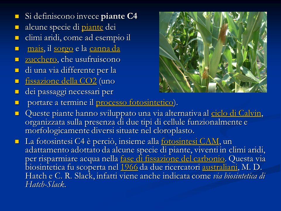Si definiscono invece piante C4 Si definiscono invece piante C4 alcune specie di piante dei alcune specie di piante deipiante climi aridi, come ad ese