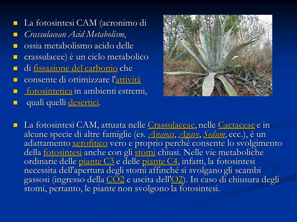 La fotosintesi CAM (acronimo di La fotosintesi CAM (acronimo di Crassulacean Acid Metabolism, Crassulacean Acid Metabolism, ossia metabolismo acido de