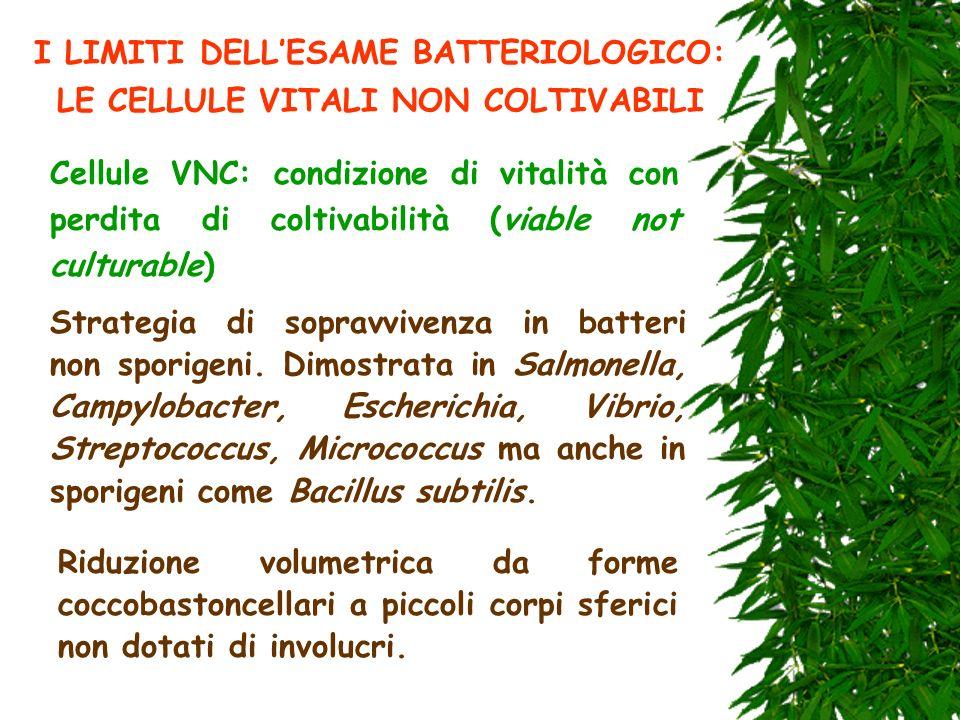 I LIMITI DELLESAME BATTERIOLOGICO: LE CELLULE VITALI NON COLTIVABILI Cellule VNC: condizione di vitalità con perdita di coltivabilità (viable not cult
