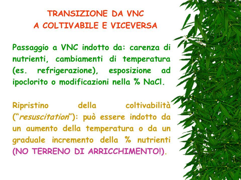 TRANSIZIONE DA VNC A COLTIVABILE E VICEVERSA Passaggio a VNC indotto da: carenza di nutrienti, cambiamenti di temperatura (es. refrigerazione), esposi