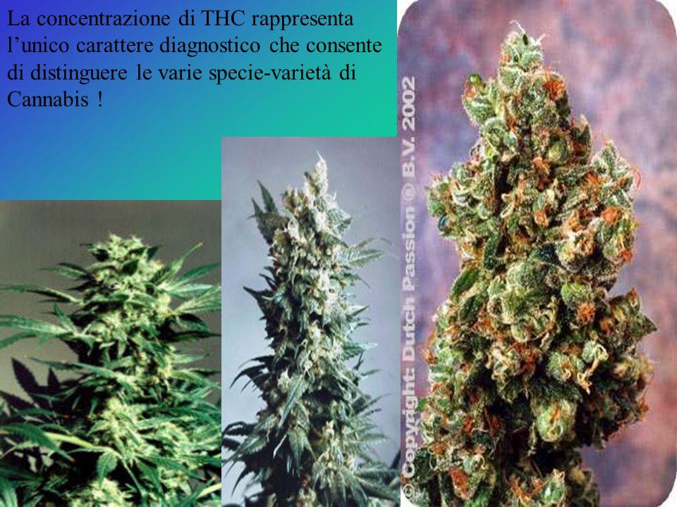 La concentrazione di THC rappresenta lunico carattere diagnostico che consente di distinguere le varie specie-varietà di Cannabis !