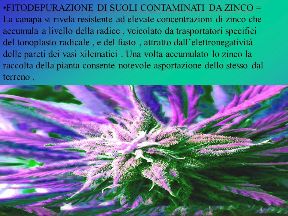 FITODEPURAZIONE DI SUOLI CONTAMINATI DA ZINCO = La canapa si rivela resistente ad elevate concentrazioni di zinco che accumula a livello della radice,
