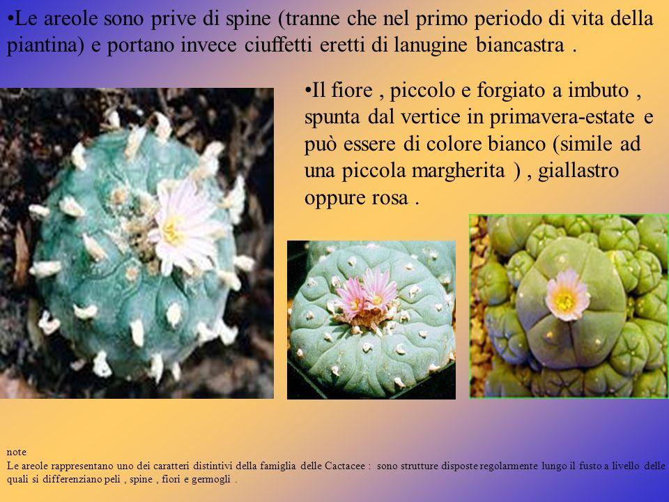 Le areole sono prive di spine (tranne che nel primo periodo di vita della piantina) e portano invece ciuffetti eretti di lanugine biancastra. Il fiore