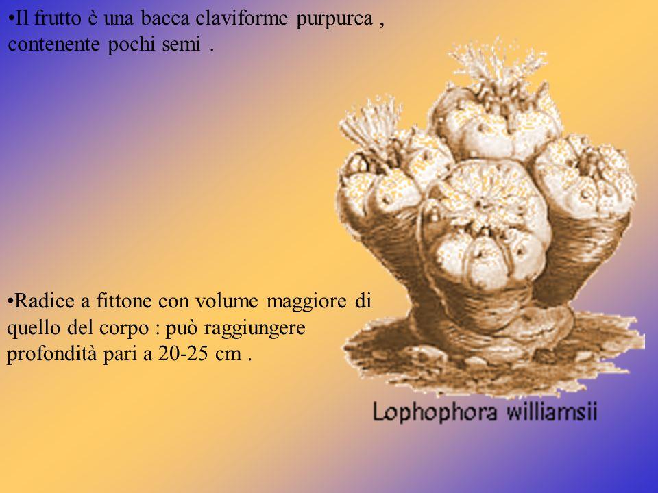 Radice a fittone con volume maggiore di quello del corpo : può raggiungere profondità pari a 20-25 cm. Il frutto è una bacca claviforme purpurea, cont