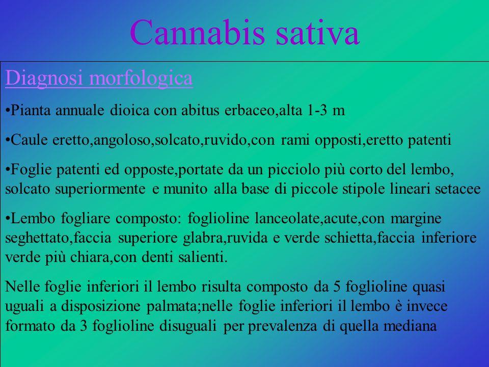 Cannabis sativa Diagnosi morfologica Pianta annuale dioica con abitus erbaceo,alta 1-3 m Caule eretto,angoloso,solcato,ruvido,con rami opposti,eretto